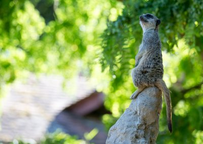 wistful watchcat
