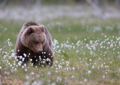 bear among blossoms