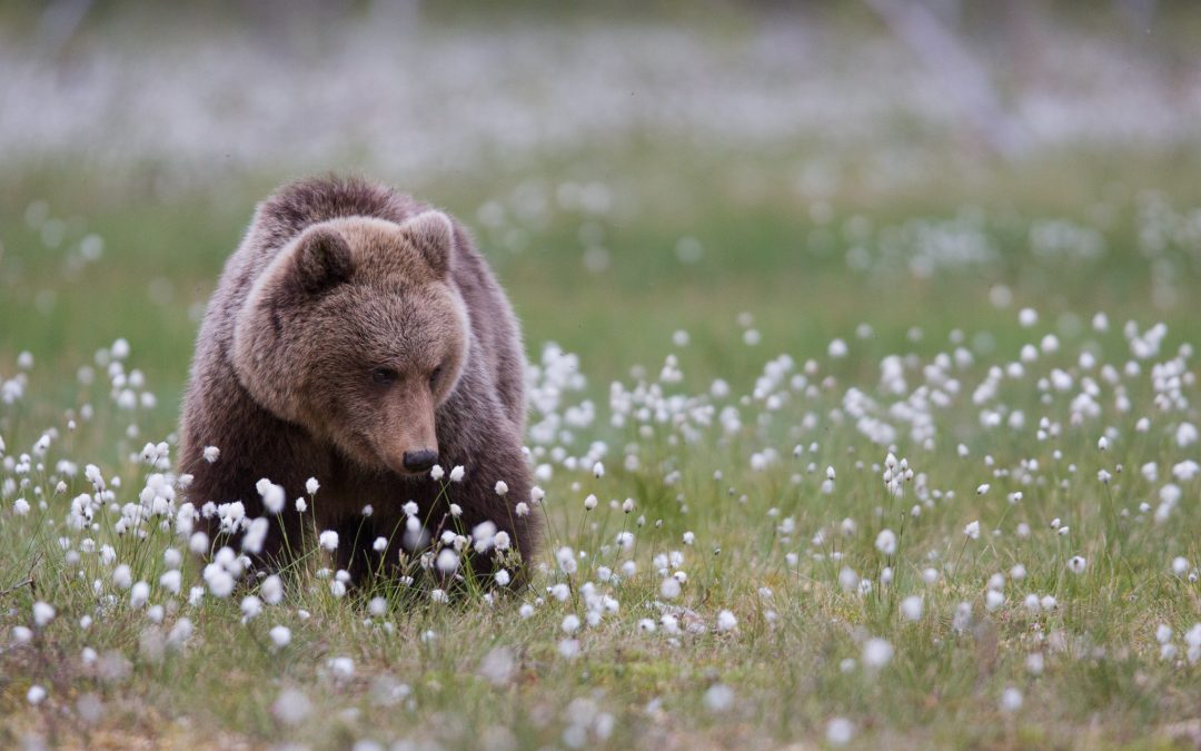 bears of finland – a trip to dreamland